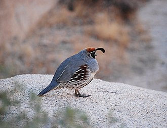 Gambel's quail - Male Gambel's quail in Joshua Tree National Park