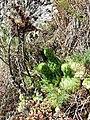 Jovibarba globifera subsp. globifera sl6.jpg