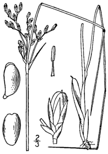 Juncus greenei BB-1913.png