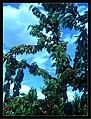 June Flower ^ Cherry Farming Endingen Kaiserstuhl - Master Seasons Rhine Valley Photography 2013 - panoramio (14).jpg