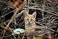 Jungle cat, juvenile.jpg