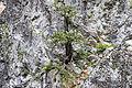 Juniper on the cliffs, Hançerderesi 03.jpg