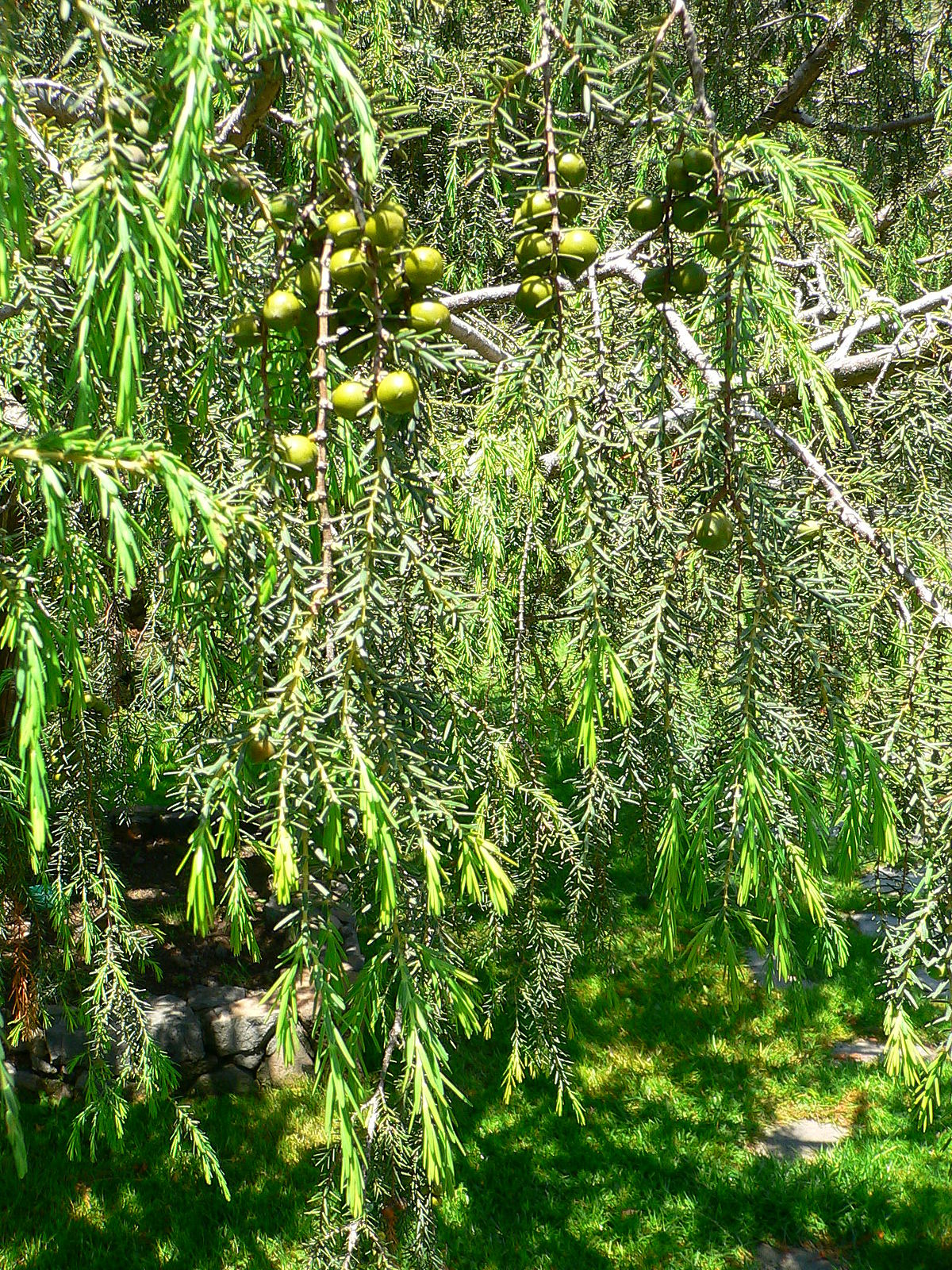 Juniperus cedrus wikipedia for The juniper