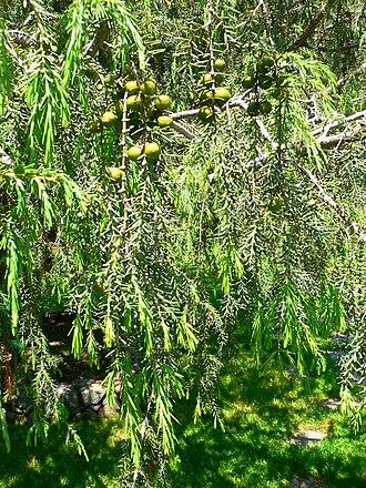 Juniperus cedrus - Image: Juniperus cedrus detail