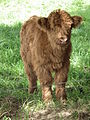 Kalb Higland Cattle.JPG