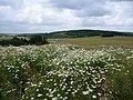Kamillenfeld bei Waldböckelheim - panoramio.jpg