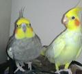 Kartal and civciv cockatiels.png