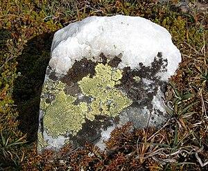 English: Map lichen at Quartz Norsk (bokmål)â...