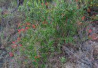 Keckiellacordifolia