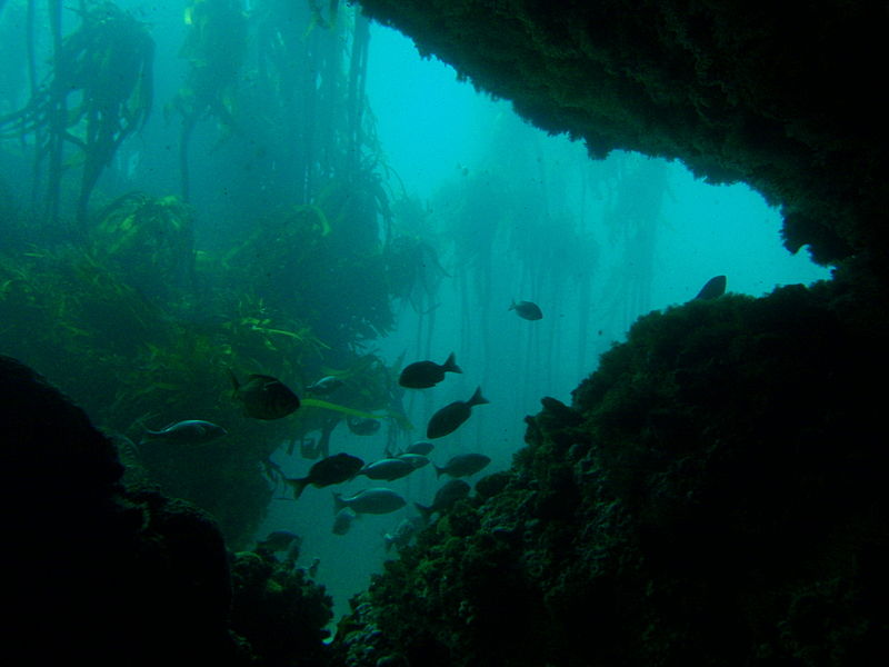 File:Kelp forest on high profile reef P9041231.JPG