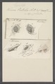 Kerona patella - - Print - Iconographia Zoologica - Special Collections University of Amsterdam - UBAINV0274 113 17 0011.tif