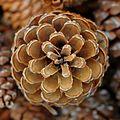 Kiefer Zapfen, Pine cones.JPG