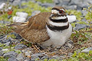 <i>Charadrius</i> Genus of birds