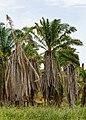 Kinabatangan Sabah Poisoned-Oil-palm-02.jpg