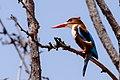 Kingfisher, Madhya Pradesh.jpg