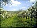 Kirschblüte in Niederrotweil - panoramio.jpg