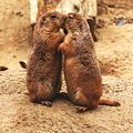 Kissing Prairie dog.JPG