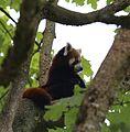 Kleiner Panda Tierpark Hellabrunn-6.jpg