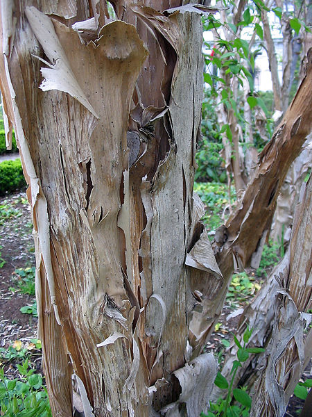 File:Kolkwitzia amabilis textura del tronco.jpg