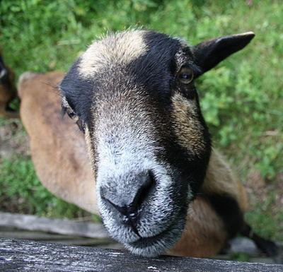 Kopf und Nase einer Ziege.JPG