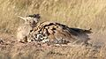 Kori bustard, Ardeotis kori, at Kgalagadi Transfrontier Park, Northern Cape, South Africa (34374576152).jpg