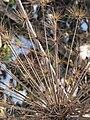 Korina 2011-01-01 Heracleum mantegazzianum 2.jpg