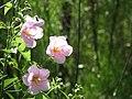 Kosteletzkya virginica (1).jpg