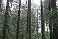 Kullu Valley, Manali, Pine forest, India.jpg