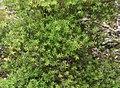Kunzea robusta in Auckland Botanic Gardens 01.jpg