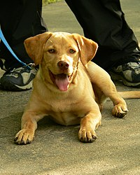 Labrador Retriever Molly.jpg