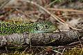 Lacerta viridis 02.JPG