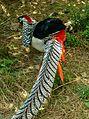 Lady Amherst's Pheasant-India.jpg