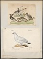 Lagopus mutus - 1700-1880 - Print - Iconographia Zoologica - Special Collections University of Amsterdam - UBA01 IZ17100415.tif