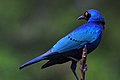 Lamprotornis chalybaeus -Kruger National Park, South Africa-8.jpg