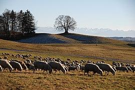 Landstetten, Drumlin-Buche HB-12.jpg