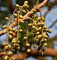 Lannea coromandelica (Wodier Tree) fruits in Hyderabd W IMG 7389.jpg