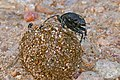Large Copper Dung Beetle (Kheper nigroaeneus) with Sepsid Flies (Paratoxapoda ? sp.) (16256918349).jpg