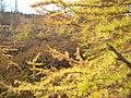 Larix laricina MerBleu.jpg