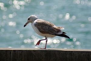 Pallas's gull - A juvenile