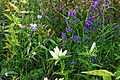 Late Summer Gentians (6165767591).jpg