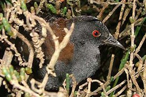 Black rail - Image: Laterallus jamaicensis USGS