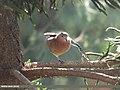Laughing Dove (Spilopelia senegalensis) (15702313967).jpg