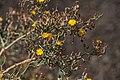Launaea cf. arborescens-pjt.jpg