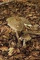Lausanne 03.08.2017 Blusher - Amanita rubescens (37242734005).jpg