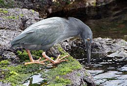 Lava heron (Butorides sundevalli) -fishing on Galapagos.jpg