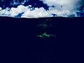 Le requin, le roi des océans.jpg