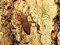Leaf-footed Bug - Flickr - treegrow (5).jpg