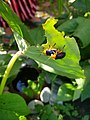 Leaf beetle mating on Colocasia162400.jpg