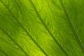 Leaf of Colocasia.JPG