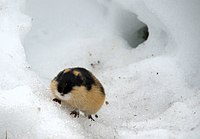Lemming in snow.jpg